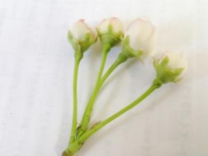 白いのは花びらで、まもなく開きます。開く直前が花粉採取には適期です